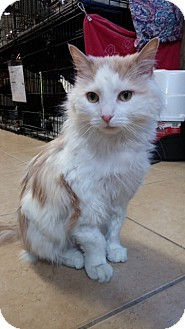 Domestic Longhair Cat for adoption in Linden, New Jersey - Corky