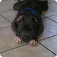 Adopt A Pet :: Khloe - WARREN, OH