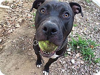 Pit Bull Terrier/Labrador Retriever Mix Dog for adoption in Santa Monica, California - Dirky