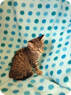 Domestic Shorthair Kitten for adoption in South Haven, Michigan - Berto