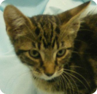 Domestic Shorthair Kitten for adoption in Olive Branch, Mississippi - Auggie
