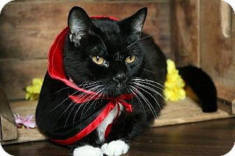Domestic Shorthair Cat for adoption in Germantown, Maryland - Dracula
