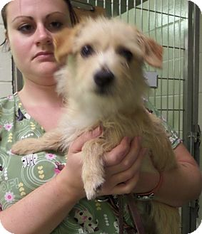 Maltese/Yorkie, Yorkshire Terrier Mix Puppy for adoption in Paris, Illinois - Copper