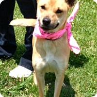 Adopt A Pet :: AMELIA - Glastonbury, CT