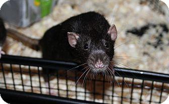 Rat for adoption in Austin, Texas - Tobi