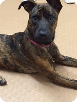Plott Hound/Labrador Retriever Mix Dog for adoption in Boston, Massachusetts - Scarlett