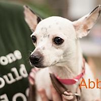 Adopt A Pet :: Abby - Dallas, TX