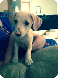Dachshund Puppy for adoption in Jennings, Oklahoma - Jax