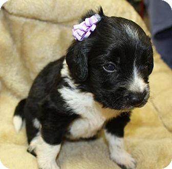 Beagle/Spaniel (Unknown Type) Mix Puppy for adoption in Cottageville, West Virginia - Fantasia