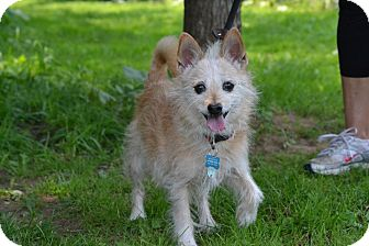 Terrier (Unknown Type, Small)/Chihuahua Mix Dog for adoption in Broadway, New Jersey - Dickson