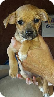 Chihuahua Mix Puppy for adoption in Hagerstown, Maryland - Oma