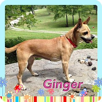 Terrier (Unknown Type, Medium)/Chihuahua Mix Dog for adoption in Dover, Tennessee - Ginger
