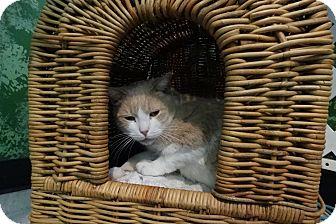 Domestic Shorthair Cat for adoption in Elyria, Ohio - Jimmy