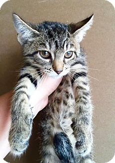Domestic Shorthair Kitten for adoption in Franklin, Indiana - Ariel
