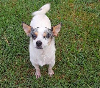 Chihuahua Dog for adoption in Prague, Oklahoma - Bolt