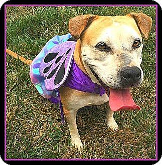 American Bulldog/Labrador Retriever Mix Dog for adoption in Richmond, Virginia - Princess Elsa