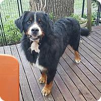 Adopt A Pet :: Bernie ADOPTED!! - Antioch, IL