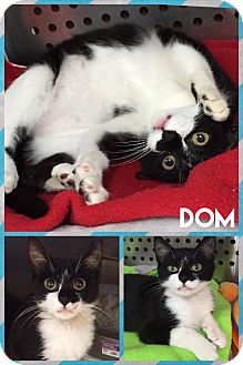 Domestic Mediumhair Cat for adoption in Mansfield, Texas - Dom