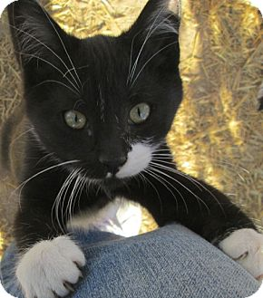 Domestic Shorthair Cat for adoption in Buhl, Idaho - Jace