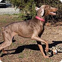 Adopt A Pet :: FALCON - Greensboro, NC