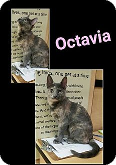 Calico Cat for adoption in North Richland Hills, Texas - Octavia