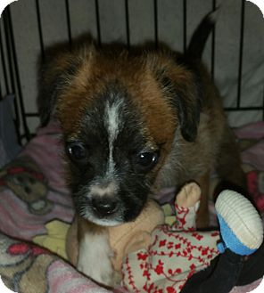 Yorkie, Yorkshire Terrier/Chihuahua Mix Puppy for adoption in Houston, Texas - PAULI