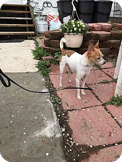 Chihuahua Mix Dog for adoption in Rexford, New York - Sam