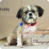 Shih Tzu Mix Dog for adoption in Oklahoma City, Oklahoma - Teddy