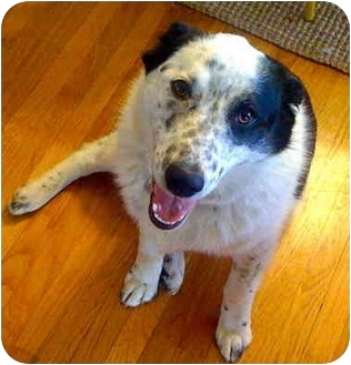 Border Collie/Australian Shepherd Mix Dog for adoption in Portland, Oregon - Eddie