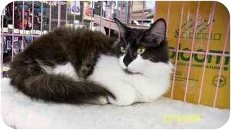 Domestic Longhair Cat for adoption in Sacramento, California - Mackenzie