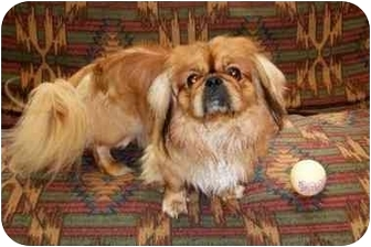 Pekingese Dog for adoption in Little Falls, Minnesota - Rusty