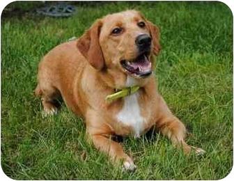 Basset Hound/Labrador Retriever Mix Dog for adoption in Bay City, Michigan - Gordie