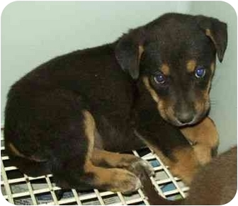Rottweiler/Great Pyrenees Mix Puppy for adoption in North Judson, Indiana - Chip