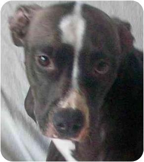 American Staffordshire Terrier/Terrier (Unknown Type, Medium) Mix Dog for adoption in Sacramento, California - Athena