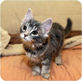 Domestic Mediumhair Kitten for adoption in Farmingdale, New York - Terra