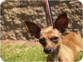 Chihuahua Mix Puppy for adoption in El Cajon, California - Sissy