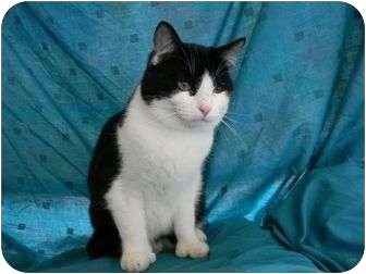 American Shorthair Kitten for adoption in Bay City, Michigan - Caleb