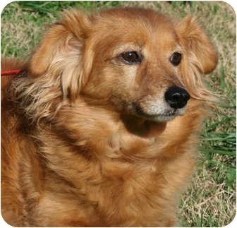 Dachshund Mix Dog for adoption in Portland, Maine - Peaches