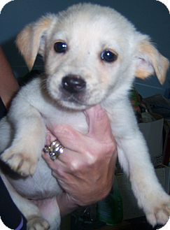 Labrador Retriever Mix Puppy for adoption in Richmond, Virginia - Naomi