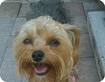 Yorkie, Yorkshire Terrier Dog for adoption in Tallahassee, Florida - Abby