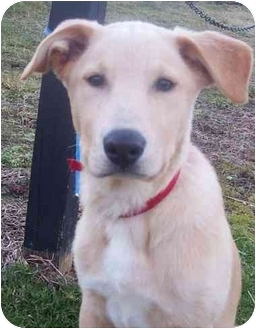 Labrador Retriever Mix Puppy for adoption in Chapel Hill, North Carolina - Baysden