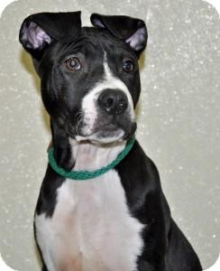 Terrier (Unknown Type, Medium) Mix Puppy for adoption in Port Washington, New York - Oreo