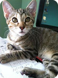 Domestic Shorthair Kitten for adoption in Coppell, Texas - Dottie