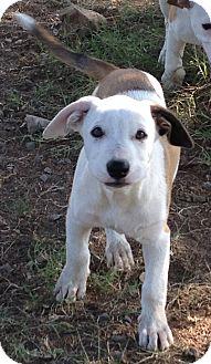 Hound (Unknown Type) Mix Puppy for adoption in Asheboro, North Carolina - Ginny