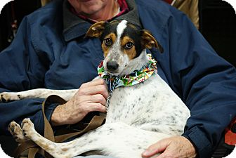 Jack Russell Terrier/Rat Terrier Mix Puppy for adoption in Pocahontas, Arkansas - Ducky