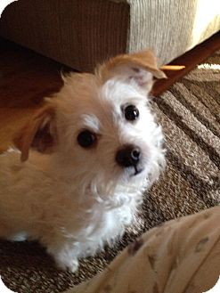 Maltese/Jack Russell Terrier Mix Dog for adoption in Pawling, New York - Judge