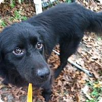 Adopt A Pet :: CHAMP - Shirley, NY