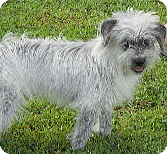 Cairn Terrier/Yorkie, Yorkshire Terrier Mix Dog for adoption in Rochester, New York - Possum