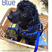 Adopt A Pet :: Blu - Essex Junction, VT