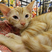 Adopt A Pet :: Feisty Maximus - The Colony, TX